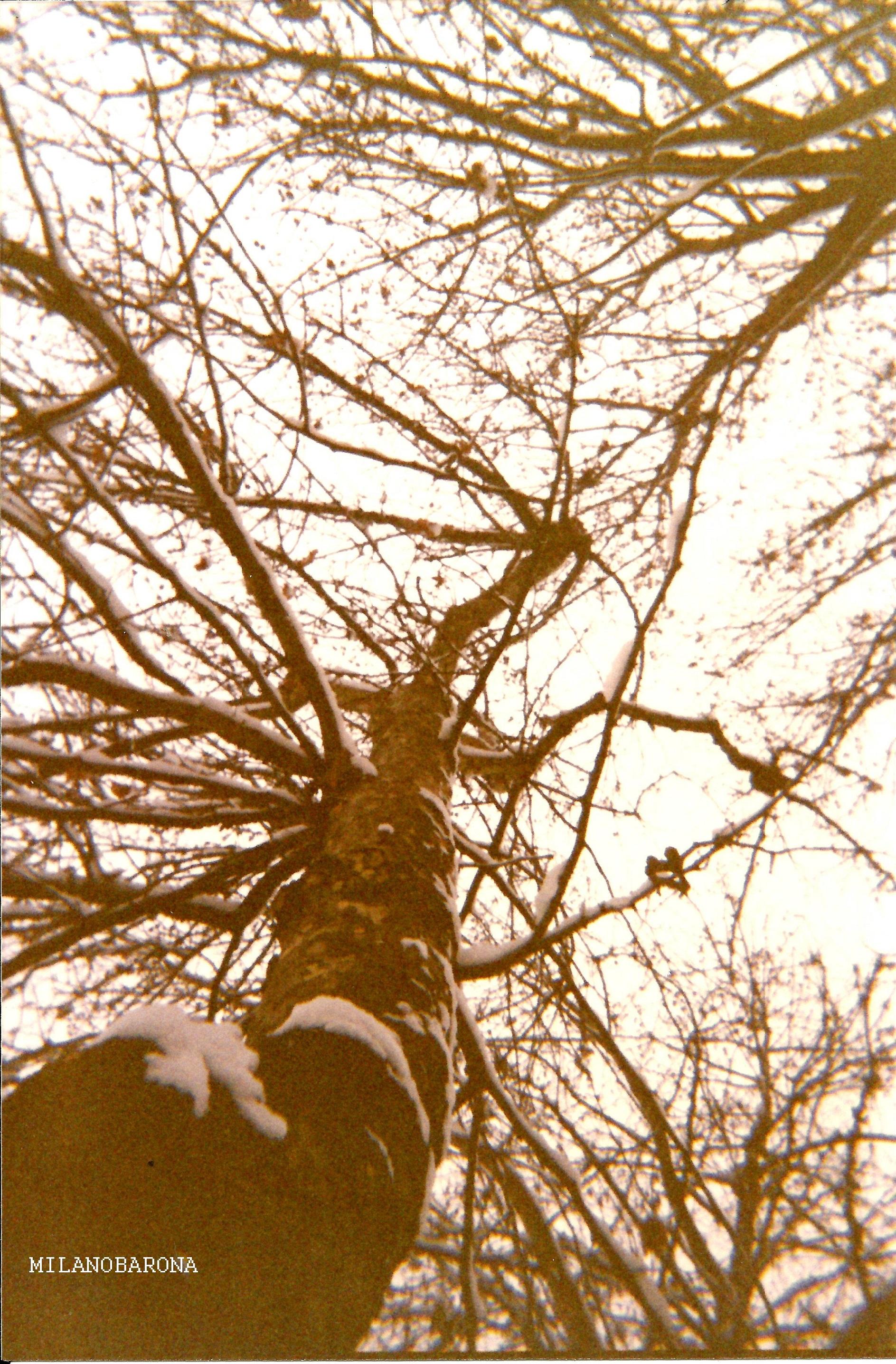 Milano San Cristoforo-Piazzale delle Milizie (albero innevato a fine Dicembre 1993) (fonte fotografica proprietaria)